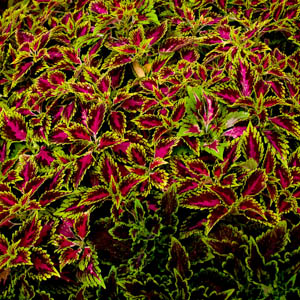 Maui plants Common Coleus
