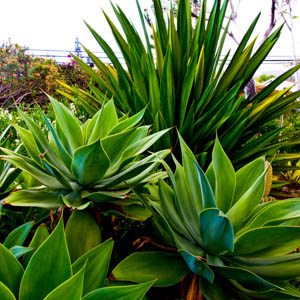 Maui plants Fox-tail agave