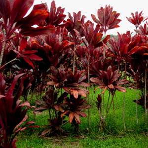 Maui plants Red Ti