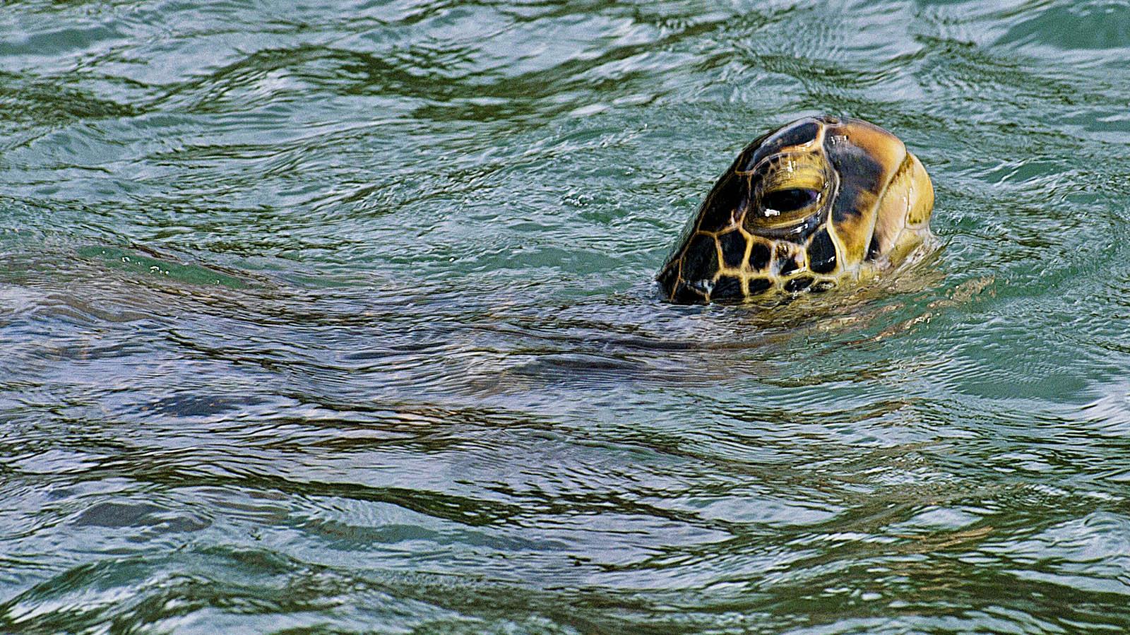 O G Turtle Documentary Maui Snorkel Guide Mal...