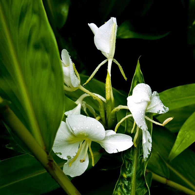 maui flower guide  gallery, Beautiful flower